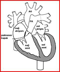 pulmoner_darlik_clip_image002_0004